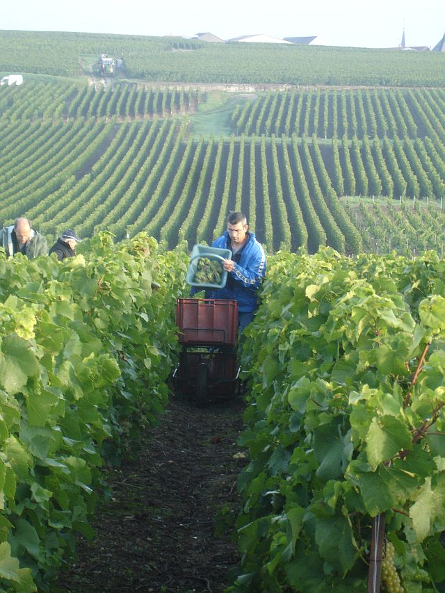 Carrying the newly cut grapes