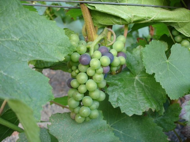 Veraison on August 29th at Ludes