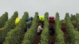 busy-picking-grapes