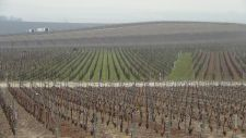 View-of-pruned-vines225