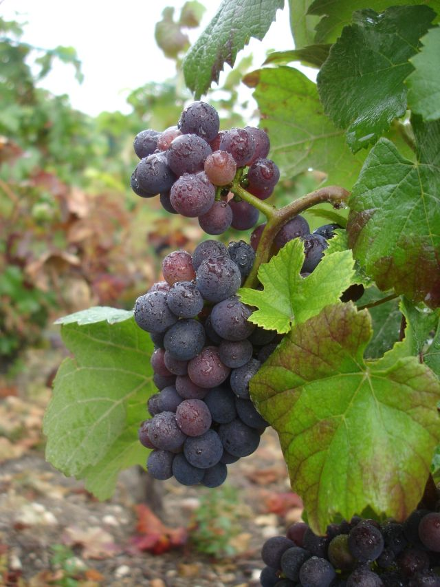 Grapes-in-the-rain-11th-sept