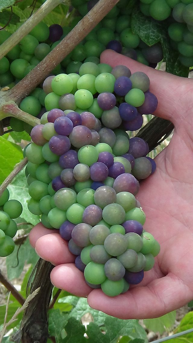 Veraison at Mousse 640